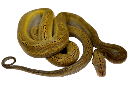 Goldenchild Platinum Reticulated Python
