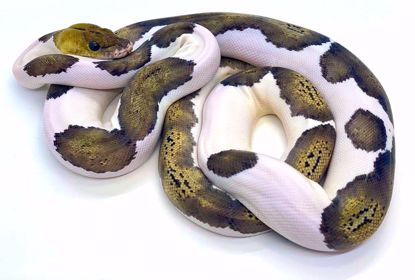 Picture of Tiger Pied Pos Citron Male